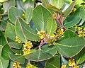 Rhamnus alaternus. Corneyu (flores).jpg