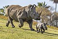 Rhino mother and calf frolicking in San Diego Zoo (37110270781).jpg