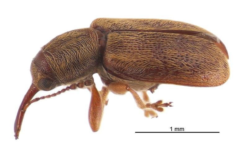 Rhinorhynchus rufulus lateral