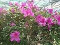 Rhododendron cv. Kiev Grishko 06.jpg
