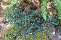 Rhododendron impeditum - VanDusen Botanical Garden - Vancouver, BC - DSC07151.jpg