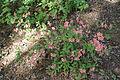 Rhododendron kaempferi in Botanical garden, Minsk 01.JPG