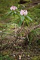 Rhododendron macrophyllum 4974.JPG