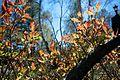 Rhododendron molle - Flickr - odako1 (4).jpg