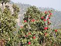 Rhododendron tree 01.jpg