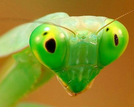 compound eyes