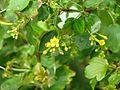 Ribes aureum (16322808634).jpg