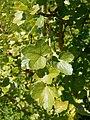 Ribes saxatile 2017-05-23 0779.jpg