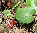 Ribes viburnifolium-- the Evergreen Currant (27826239516).jpg