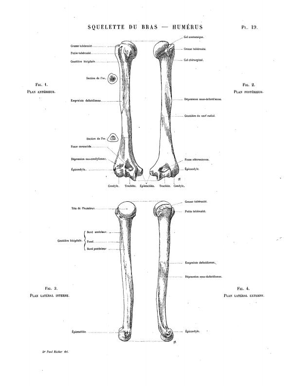 Page:Richer - Anatomie artistique, 2.djvu/26 - Wikisource