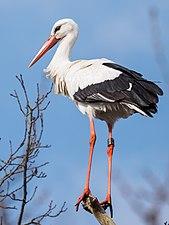 Ringed white stork.jpg