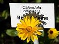 Ringelblume, Calendula officinalis.jpg