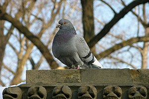 A photograph of a Rock Pigeon (Columba livia)....
