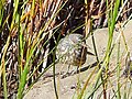 Rock pipit in the grass at Kildonan - geograph.org.uk - 550422.jpg