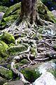 Roots seeking water, Watagans National Park.jpg