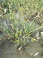 Rorippa palustris sl23.jpg