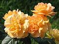 Rosa 'Bernstein Rose' 04.JPG