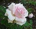 Rosa 'Blairi 1'.jpg