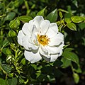Rosa 'Kent' (actm).jpg