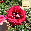 "Rosa ""Flaming Peace"", ""Kronenbourg"" o MACbo. 04.jpg"
