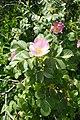 Rosa pulverulenta kz02.jpg