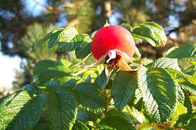 Rosa rugosa Frucht.jpg