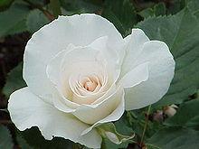 White rose essay