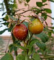 Rosa tomentosa fruit (01).jpg
