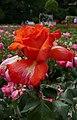 Rosarium Baden Rosa 'Christopher Columbus' Meilland 1992 01.jpg