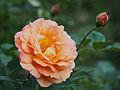 Rose, La Parisienne, バラ, ラ パリジェンヌ, (16136920281).jpg