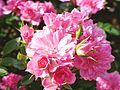 Rose, Lutin, バラ, リュータン, (14468585682).jpg