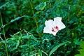 Rose of sharon (25137643524).jpg