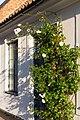 Roses at Magle Lilla Kyrkogata 26, Lund.jpg