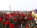 Roses blooming in the rose garden during winter.jpg
