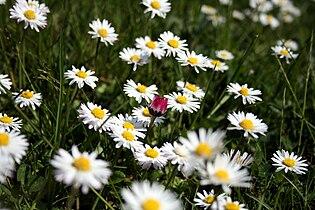 RotesGaensebluemchen.jpg