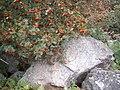 Rowan berries and granite scree - geograph.org.uk - 1494758.jpg