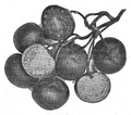 Roze fig.70.png