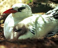 Rtailedtropicbird8.jpg
