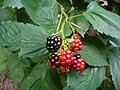 Rubus inermis.jpg
