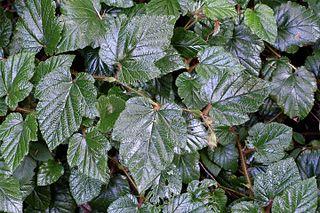 <i>Rubus tricolor</i> Species of evergreen prostrate shrub native to southwestern China