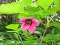 Rubus vernus 2.JPG