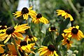 Rudbeckia hirta Indian Summer 3zz.jpg