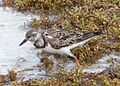 Ruddy Turnstone Arenaria interpres - Flickr - gailhampshire.jpg