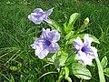 Ruellia tuberosa WLB IMG 0124 07.jpg