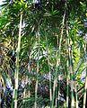 Rumpun pohon bambu (4).JPG