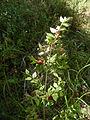 Ruscus aculeatus Gavoi 950m 20072014.jpg