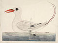 SLNSW 823151 f100 RedTailed Tropic Bird Phaethjon rubricauda.jpg