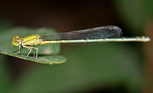 Saffron-faced Blue Dart (Pseudagrion rubriceps)- Female W IMG 3613.jpg