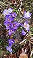 Saffron - Crocus vernus 18.jpg