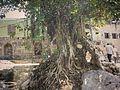 Saidpur banyan tree.jpg